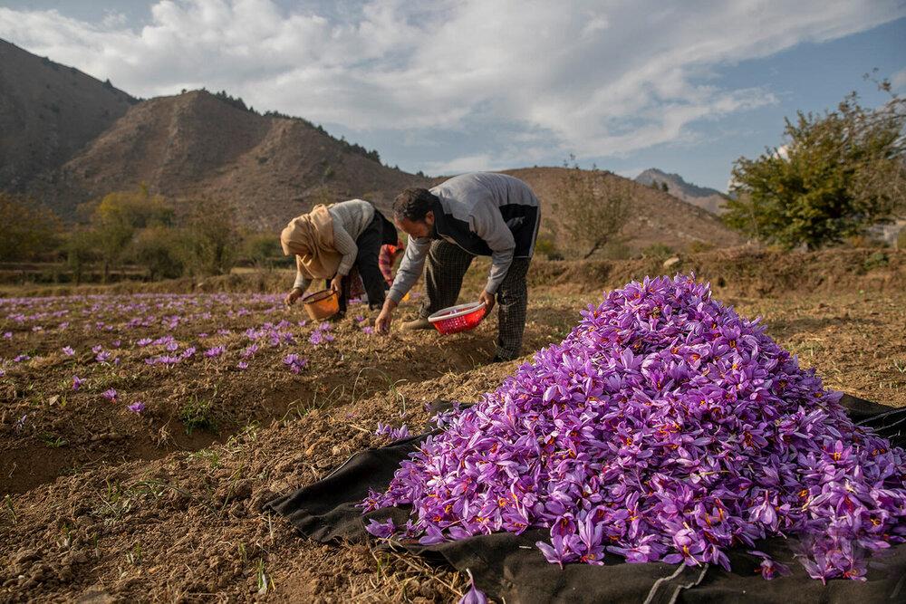 صادرات ۲۶ میلیون دلار زعفران در بهار ۱۴۰۰