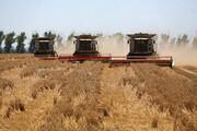 ورود گندم به چرخه خوراک دام خطرناک است