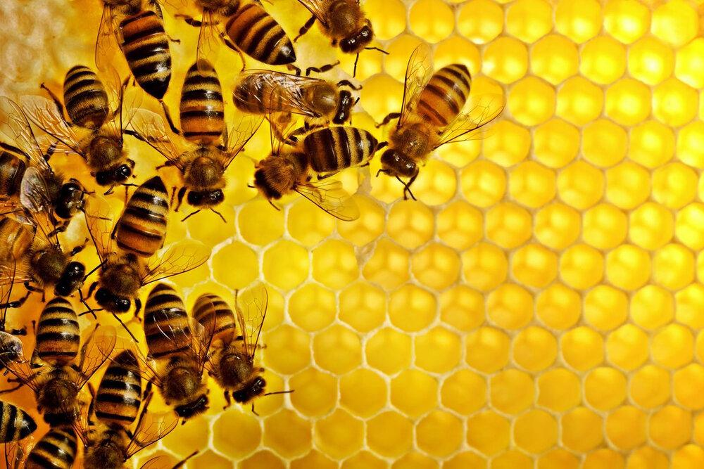 پیشرفت چشمگیر زنبورداری ایران در سالهای اخیر