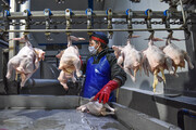 عرضه ۱۲ هزار و ۴۰۰ تن گوشت مرغ گرم در ۲ روز اخیر