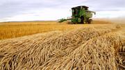 خرید گندم از ۱.۵ میلیون تن فراتر رفت