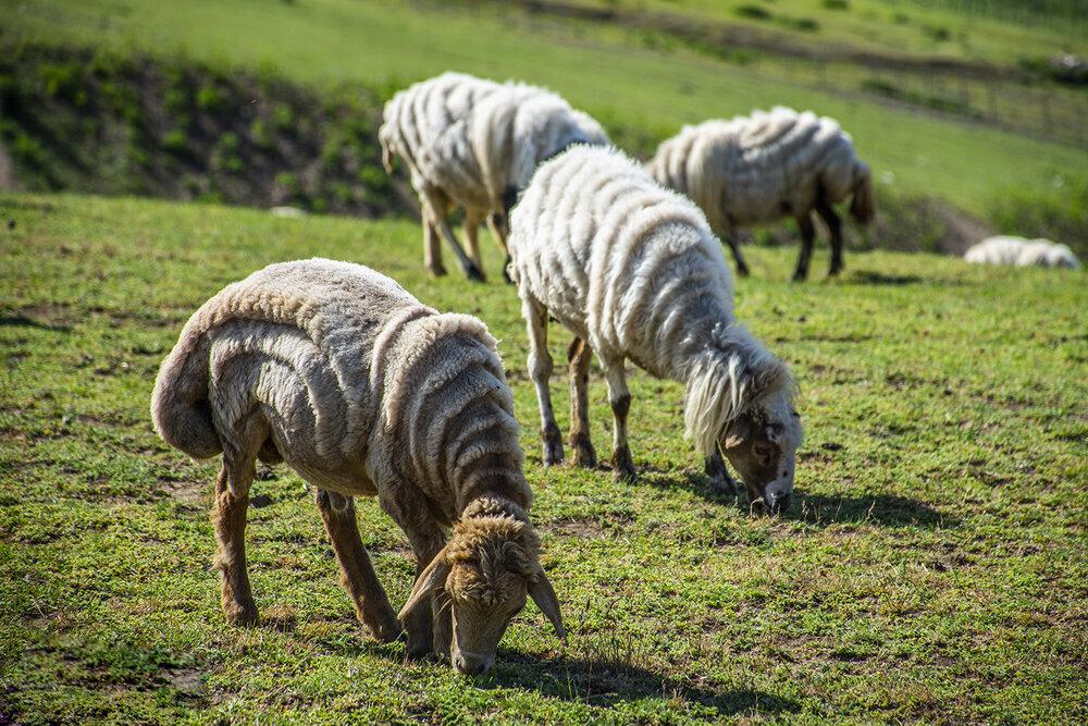 خشکسالی تولید علوفه مرتعی را ۴ میلیون تن کاهش داد