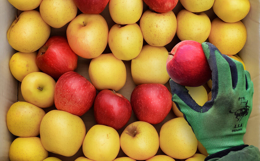 صادرات سیب به ۲۷ کشور جهان