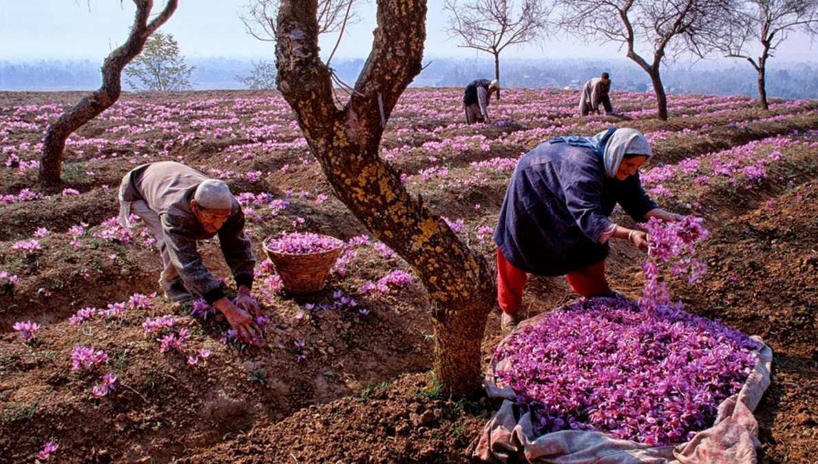 قول همکاری وزیر جهاد کشاورزی برای ارتقای جایگاه زعفران