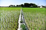 تعیین سطح زیر کشت برنج با استفاده از تصاویر ماهوارهای