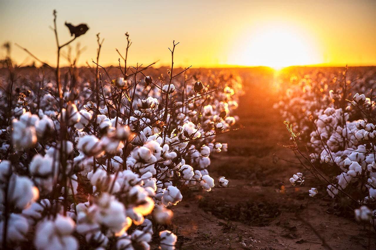 گرما و خشکسالی تولید پنبه را کاهش داد