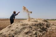حدود ۶ میلیون تن گندم از محل واردات تامین می شود
