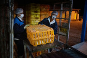 عرضه مرغ ۳۵ تا ۴۰هزار تومان گرانفروشی است