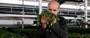 افزایش ۲۵درصدی تولید چای خشک
